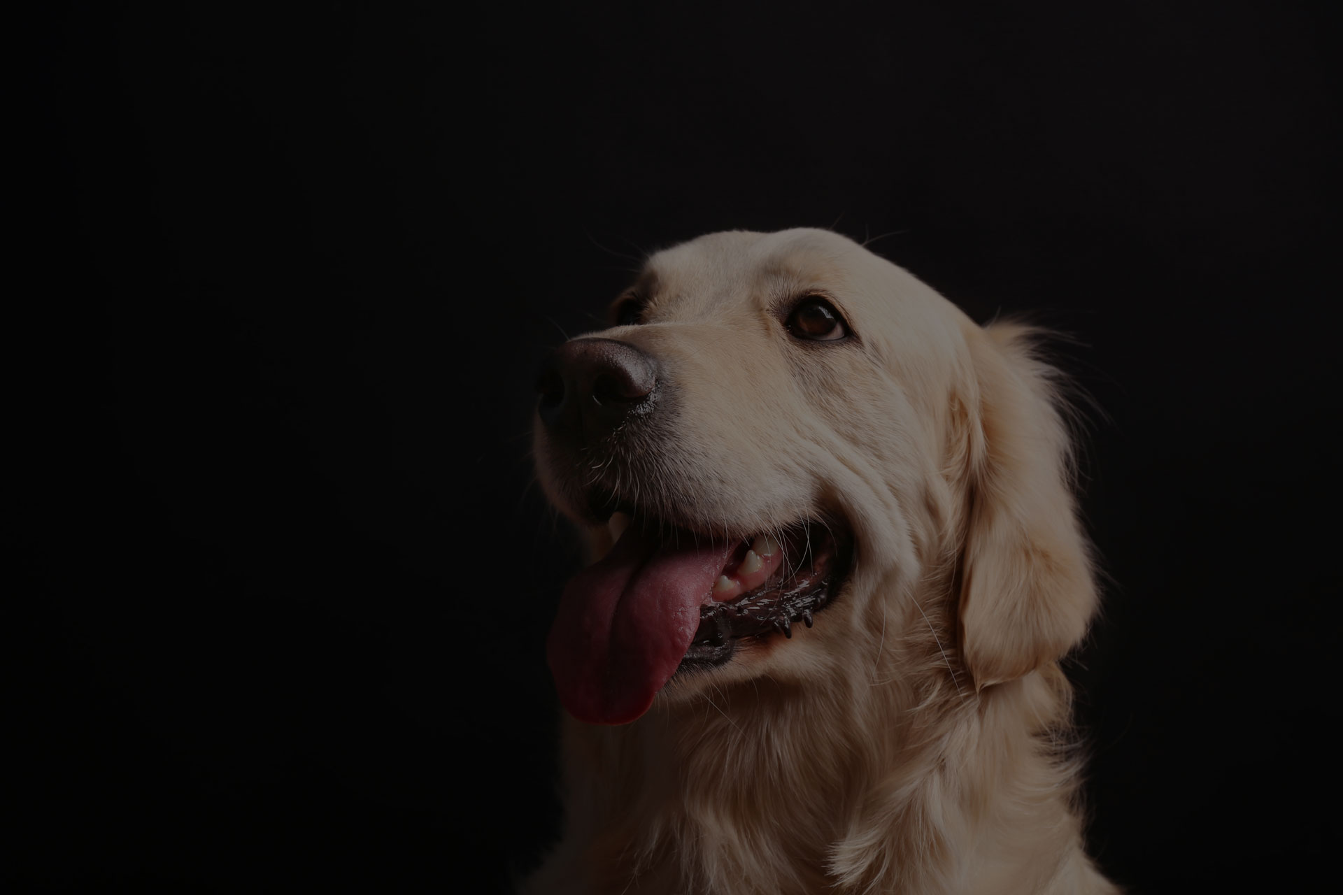 Muzzle of golden retriever on black background