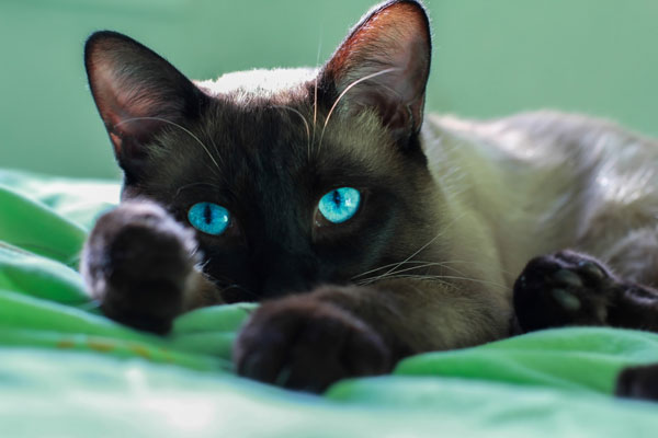 Close up face of siamese adult cat