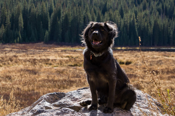 Black dog in front of a meadow