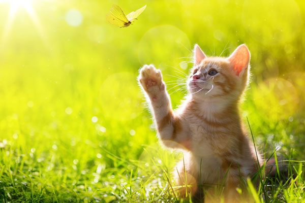 kitten hunting a butterfly with Back Lit