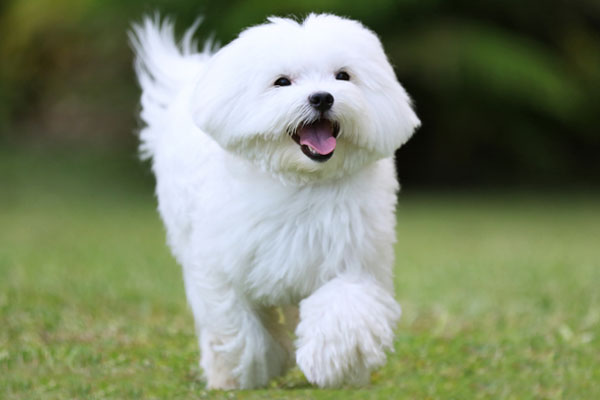 Close-up of a white maltese dog running on green grass background