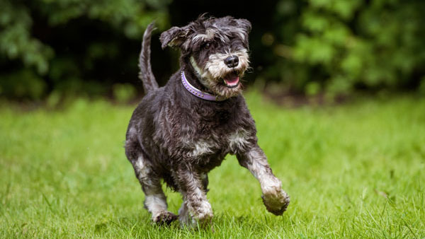 miniature schnauzer dog running in summer