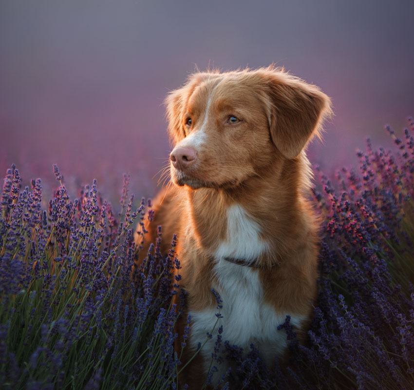 a dog in the colors of lavender