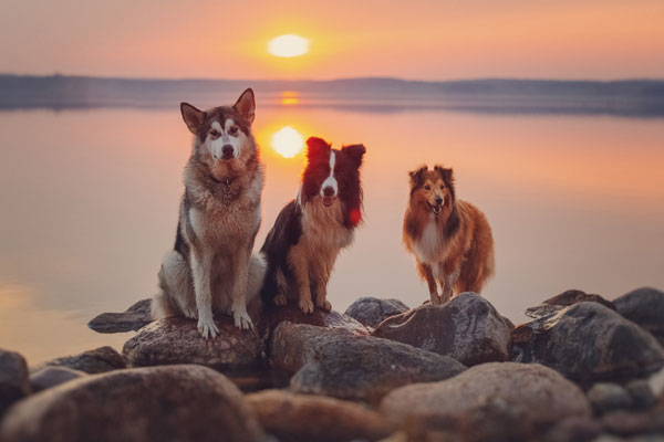 Three dogs sit on rocks on the beach