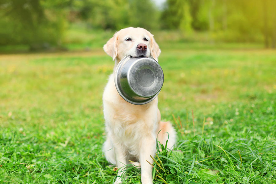 Beautiful Golden Retriever dog holding in teeth a bowl on grass