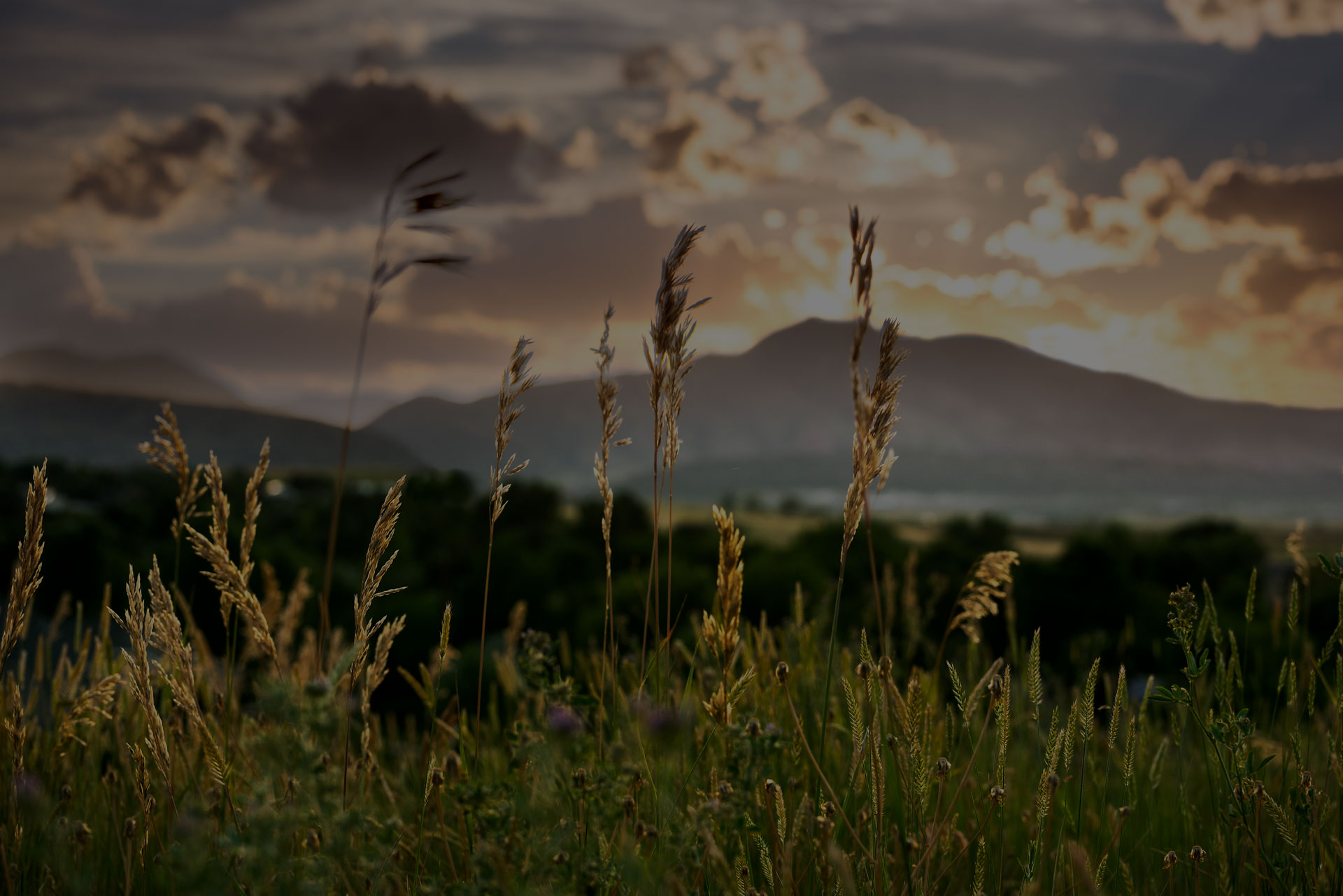 Wild grasses during sunset in the Colorado Front Range